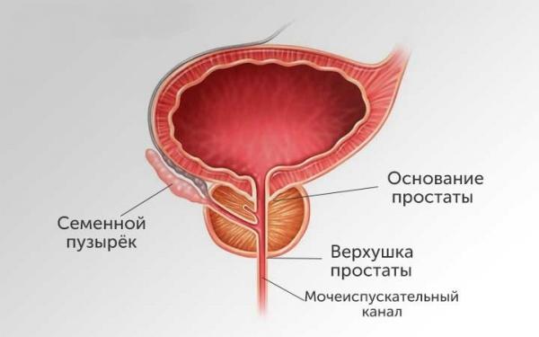 Строение предстательной железы