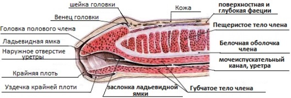 Строение пениса
