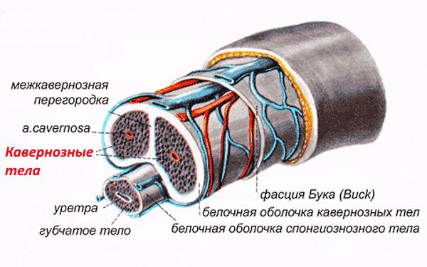 Титан гель увеличивает камеры каверозного тела пениса, благодаря чему орган становится больше