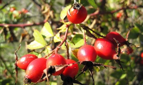 Растение шиповника