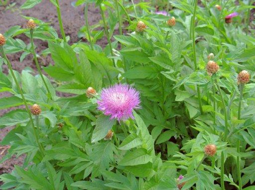 Цветок Левзеи сафлоровидной