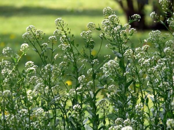 Упаковка травы ярутка