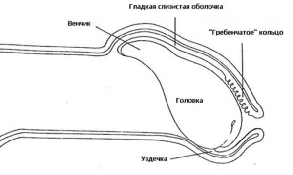 Строение головки члена