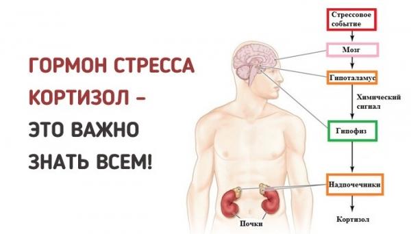 Выработка кортизола