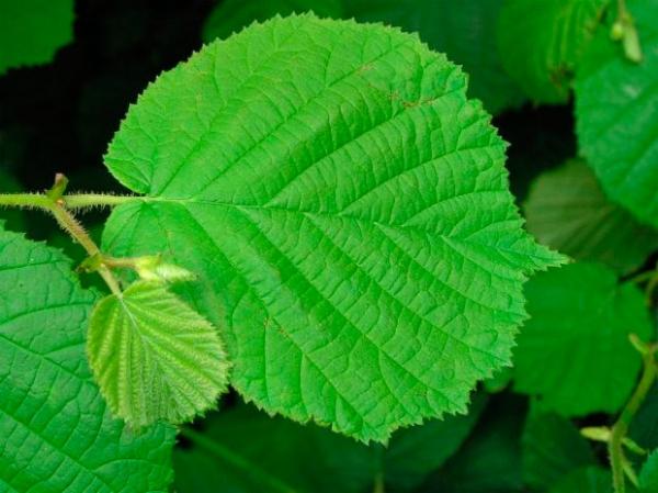 Листья лещины помогут победить аденому простаты