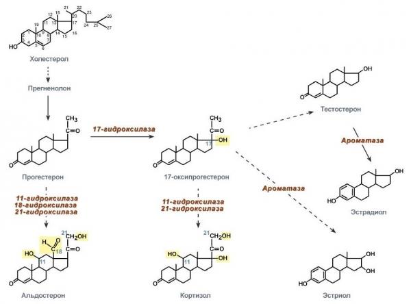 Взаимодействие гормонов в мужском организме
